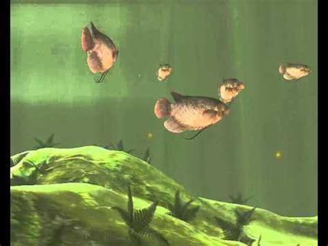 Pakan Larva Ikan Betok cara budidaya ikan gurami lengkap doovi