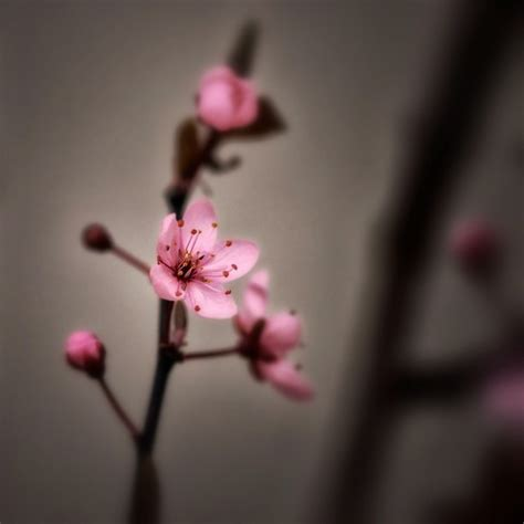 fiori di colore rosa fiori di colore rosa ciliegia primavera scaricare foto