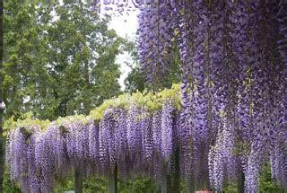 tende lilla glicine piante creare giardini cura dei fiori consigli