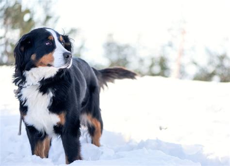 hypothermia in dogs hypothermia in dogs petmd