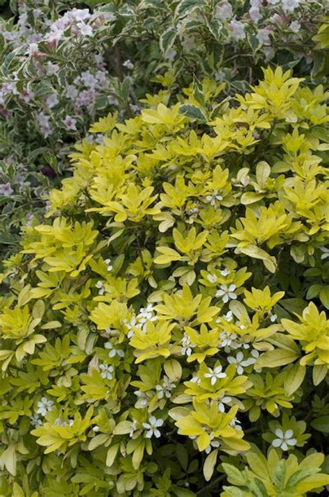 medium sized flowering shrubs choisya are evergreen shrubs with aromatic palmately