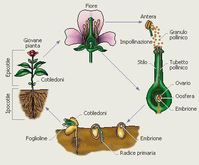 la riproduzione dei fiori angiosperme