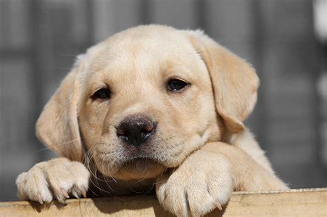 when is my puppy safe from parvo parvo treatment parvo symptoms