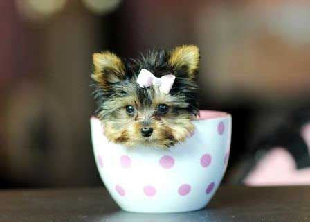 how much does a purebred yorkie cost 25 best ideas about teacup yorkie on yorkie teacup puppies