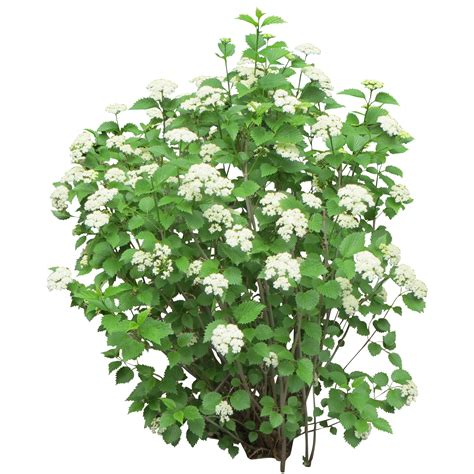 shrub with like flowers shrub bushes png transparent images png all bushes