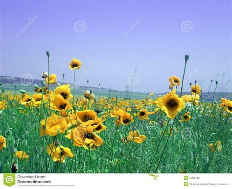 prato con fiori prato con i fiori gialli fotografie stock immagine 2753743