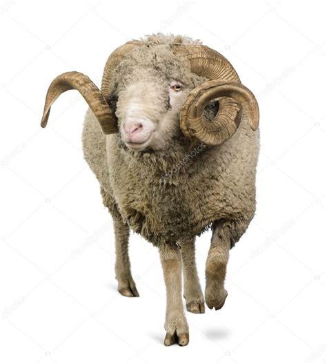new year animals ram arles merino sheep ram 5 years standing in front of