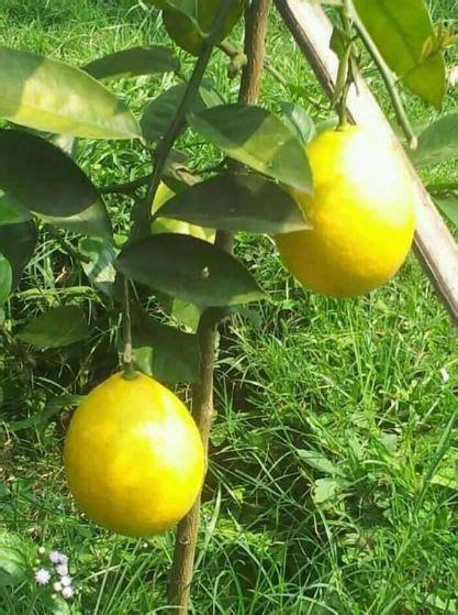 Bibit Buah Lemon buah lemon amerika jualbenihmurah