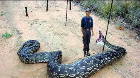 imagenes asombrosas de serpientes serpientes que murieron por comer cosas que no deb 237 an