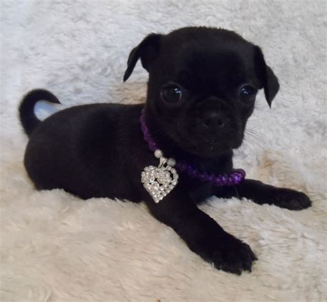 chug puppies beautiful chug puppies to reserve manchester greater