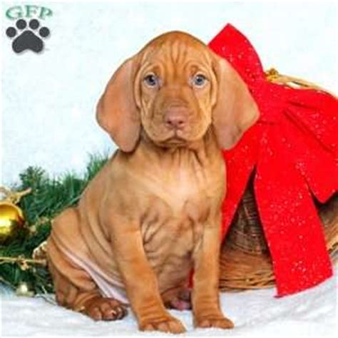 vizsla puppies for sale in pa tisha