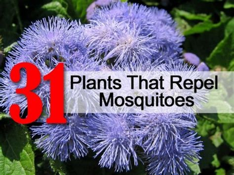 flowers that keep mosquitoes away plants that repel ticks and fleas