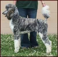 standard poodle colors poodle on standard poodles poodles and