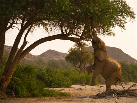 Elephant Standing On Hind Legs by Photo Of The Day National Geographic Channel Asia