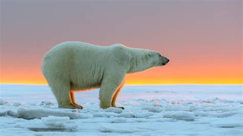 how big is a satellite data reveals more bad news for polar bears wildlife articles