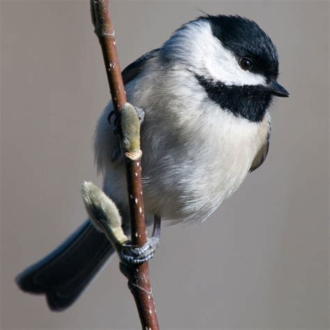 birdist rule 71 figure out what kind of chickadees you