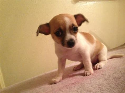 syracuse puppies for sale syracuse for sale puppies for sale