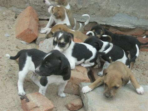 Small Dogs For Home In India Indian Pariah Dogs Breed Information History And Facts