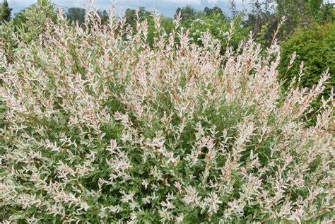 Saule Crevette Hiver by Planter En Zone Humide Quels Conseils