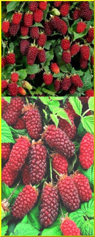 r fruticosus taimet net