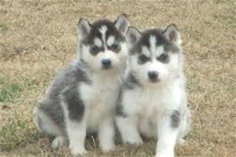 horgi puppies horgi 6 the nyc