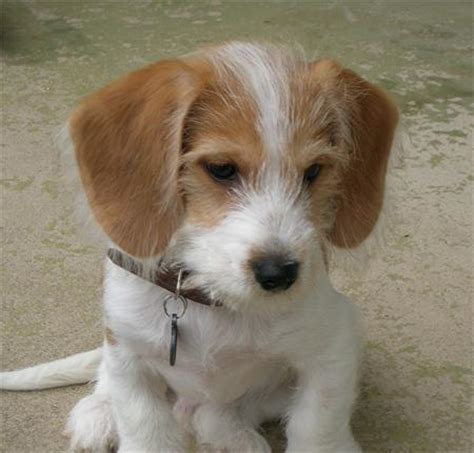 beagle terrier mix puppies for sale beagle yorkie mix