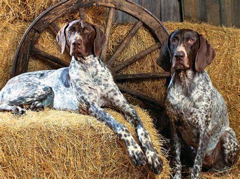 bluetick coonhound breed standards
