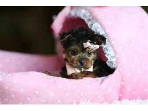 yorkie puppies for adoption in pa lovelyteacup yorkie puppies for adoption animals philadelphia pennsylvania