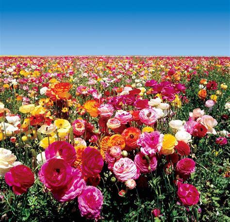 ranuncolo fiore ranuncolo piante da giardino coltivare ranuncolo