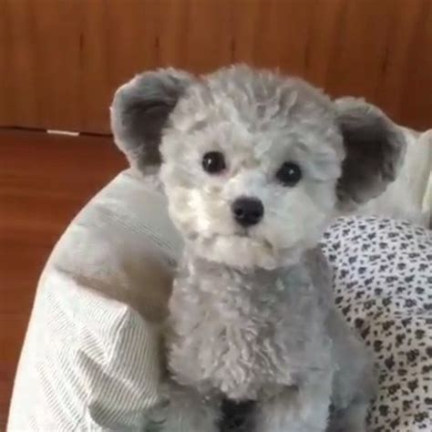 dogs that look like teddy bears it looks just like a teddy credit spicedogsss 9gag 9gagmobile poodle