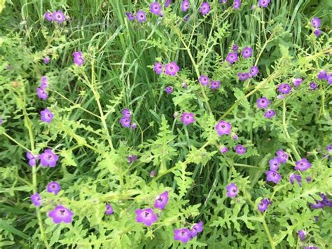 small purple l shade plant identification l a purple flower growing