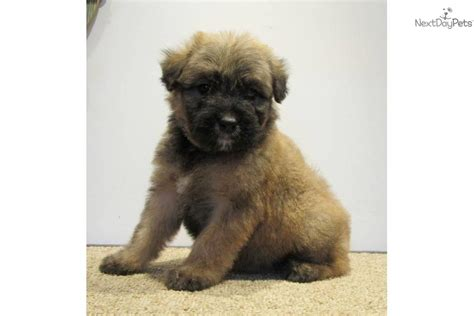 bouvier dogs bouvier des flandres puppy for sale near southeast missouri missouri f2b64d7e a0e1