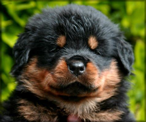 rottweiler puppies on craigslist boy implicates parents in puppy conspiracy