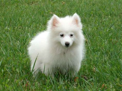 how until puppies open their american eskimo
