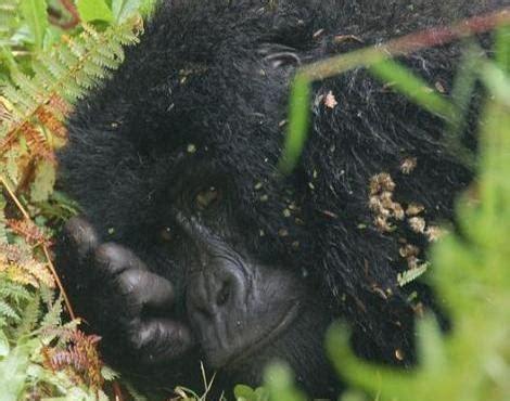 Picture 3 of 7 - Eastern Gorilla (Gorilla Berengei ...