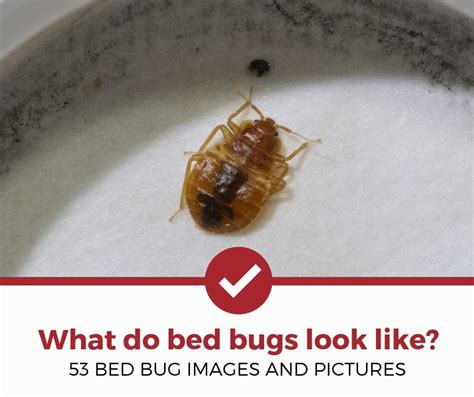 Do Bed Bugs Smell by What Do Bed Bugs Look Like 53 Pictures Of Bed Bugs