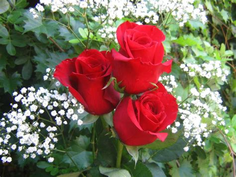 imagenes de rosas jpg rosas rojas hd fondoswiki com