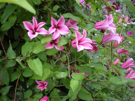 gardening with grace clematis