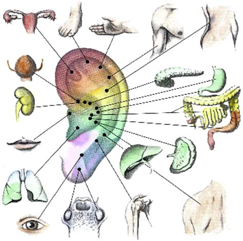 organi interni corpo umano lato sinistro auricoloterapia