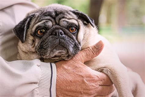are or pugs better scientists discovered a mutation pugs flat faces the verge
