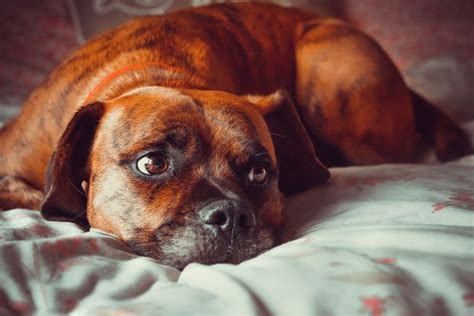 dog on bed how can i deal with the grief of losing my pet mnn