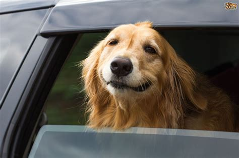 pets for homes dogs tips on how to stop your barking in the car pets4homes