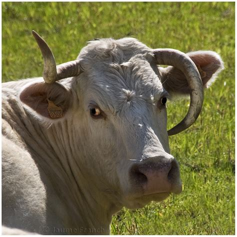 imagenes vacas locas el origen de las vacas locas