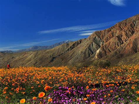 desert flowers anza borrego borrego springs ca where desert wildflowers spring to