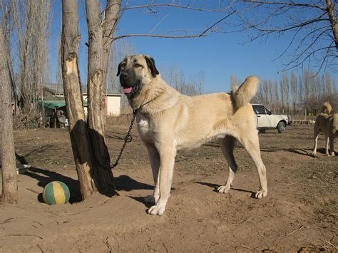 kangal dogs kangal info varieties care pictures