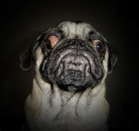 ugliest pug do we an official d awwwwww thread well we do now page 39 tmb