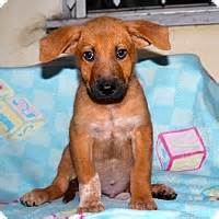 adopt golden retriever puppy los angeles los angeles ca golden retriever australian cattle mix meet gurgle a puppy for