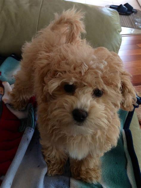 poochon haircuts poochon puppy love pinterest