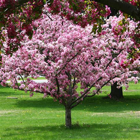 small pink tree robinson crabapple tree for sale fast growing trees