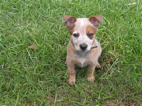 heeler puppy heeler puppy animals i beautiful animals and puppys